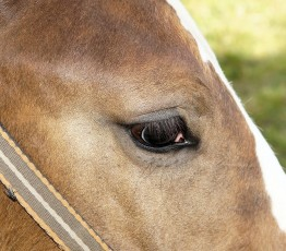 chevaux-yeux